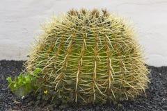 Kaktus på bakgrundsväggen arkivbilder