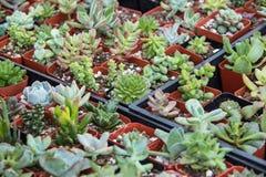 Kaktus på bondemarknader Arkivbild