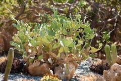 Kaktus på botaniska trädgården Fotografering för Bildbyråer