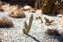 Kaktus på botaniska trädgården Royaltyfri Bild