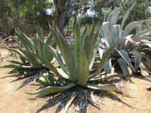 Kaktus på den Lokrum ön Arkivbild