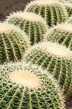 Kaktus på den Pineview barnkammare i Kalimpong Arkivfoton