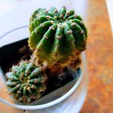 Kaktus på fokus royaltyfria foton