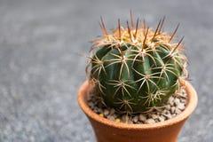 Kaktus på grå bakgrund royaltyfria foton