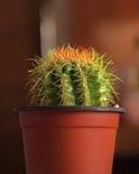 Kaktus på krukan arkivbild