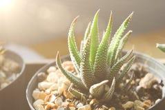 Kaktus på krukan med solljuset Royaltyfri Foto