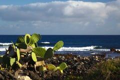 Kaktus på kusten Arkivbilder