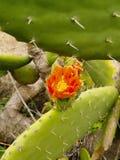 Kaktus på La Palma Royaltyfri Fotografi