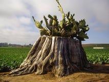 Kaktus på trädstubbe i Kalifornien fält Arkivbilder