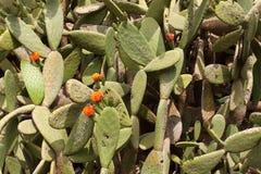 Kaktus Parkowy Guell Obrazy Stock
