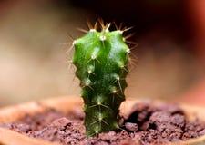 kaktus pedro san Royaltyfri Foto