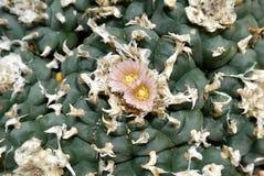 Kaktus: peyoteblommadetalj Royaltyfria Bilder