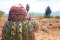 Kaktus przy pustynią zdjęcie royalty free