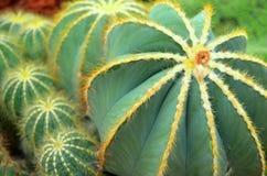 Kaktus przy szklarnią Zdjęcie Royalty Free