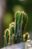 Kaktus przy zmierzchem Obraz Stock