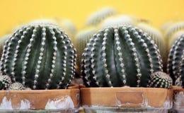 Kaktus rośliny w ceramicznych garnkach Obrazy Stock