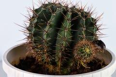 Kaktus rund in einem Topf lizenzfreies stockbild