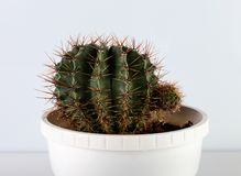 Kaktus rund in einem Topf stockbilder