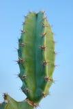 Kaktus (Säulenkaktus peruvianus) Lizenzfreies Stockbild