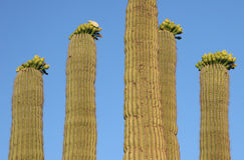 kaktus saguaro Obraz Royalty Free