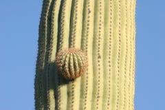 kaktus saguaro bud Obrazy Stock