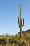 kaktus saguaro sonoma desert Zdjęcia Royalty Free