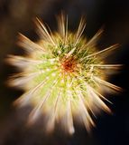 Kaktus-Schönheit Stockbild