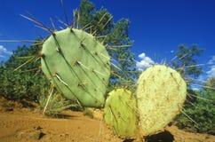 Kaktus, Sedona, AZ, Weg 89 Lizenzfreies Stockfoto