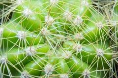 Kaktus slut upp Fotografering för Bildbyråer
