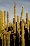 kaktus som grupperar saguaroen Royaltyfri Foto
