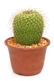 Kaktus som isoleras på vitbakgrund Royaltyfri Fotografi