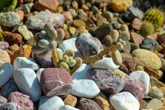 Kaktus som liknar som kiselstenar bland färgrika små stenar fotografering för bildbyråer