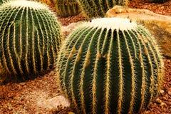 Kaktus som odlas brett som en dekorativ växt royaltyfri foto