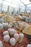 Kaktus som planterar, i att arbeta i trädgården huset Arkivbilder