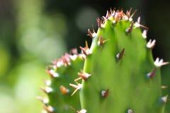 Kaktus som växten Royaltyfria Foton
