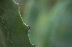 Kaktus Stachel makro Arkivbild
