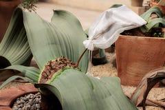 Kaktus suchy na garnku fotografia royalty free