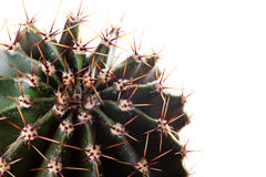 Kaktus suckulent Arkivbild