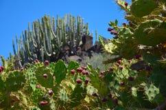 Kaktus, Teneriffa lizenzfreies stockbild