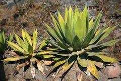 Kaktus, Tepoztlan, Meksyk Obrazy Royalty Free