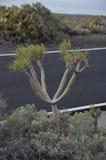 Kaktus tillsammans med vägen i Tenerife Arkivfoton