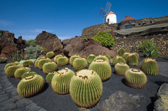 kaktus trädgårds- lanzarote Arkivfoton