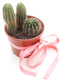 Kaktus tre i en kruka Arkivbild