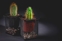 Kaktus två i en dekorativ kruka på en mörk bakgrund Låg key lighting royaltyfria foton