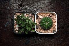 Kaktus två på svart trä royaltyfri fotografi