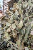 Kaktus und Kaktusfeigen lizenzfreie stockfotos