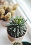 Kaktus und Ringe Lizenzfreies Stockfoto
