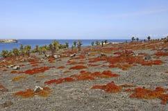 Kaktus und rote Bodendecke, Galapagos-Inseln lizenzfreie stockfotografie