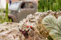 Kaktus und Succulents nähern sich Schrott des historischen Autos Stockbild