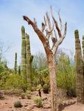 Kaktus und trockener Baum Stockfotografie